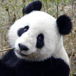 panda_400x400